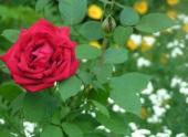 На зиму глядя в Черкесске зацвели розы