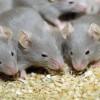 Мыши испытывают незнакомую еду на других мышах