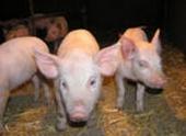 На свиней Ленобласти напала африканская чума