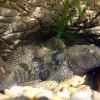 Ихтиологи: в реках Беларуси растет число чужеродных рыб