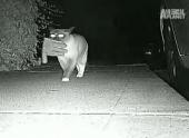 В Калифорнии кот-клептоман три года грабил соседей