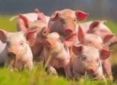 Более 1,2 тыс свиней уничтожат в Ростовской области из-за чумы