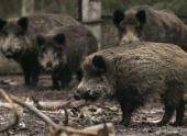 Диких кабанов начнут уничтожать в Воронежской области из-за угрозы АЧС