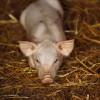 Вирус африканской чумы свиней выявлен в Ярославской области