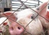 «Небезопасные» белгородские свинофермы могут закрыть