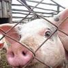 Всех свиней уничтожат в двух ростовских хуторах из-за вспышки АЧС