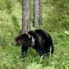 Экологи: медведи Алтайского заповедника не потревожат селян