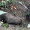Масштабная борьба с грызунами начинается в Хабаровском крае