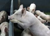 57 тысяч тульских свиней убьют из-за чумы