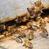 Томские ученые нашли у старообрядцев идеальных зимостойких пчел