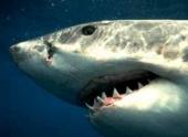 Акулы в состоянии справляться с ростом солености в водах
