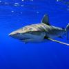 Австралиец прыгнул к акулам, чтобы спасти кита