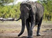 Техас: отменен аукцион на убийство слона