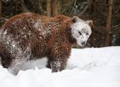 В подмосковные леса вернулись медведи