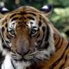 В США торнадо помогло тиграм и медведям сбежать из зоопарка