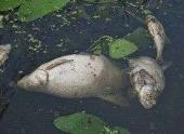 По Большой Невке плавают мертвые рыбы
