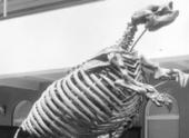 В вымирании млекопитающих последнего ледникового периода виноват человек, а не климат