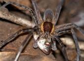 Зоологи обнаружили крупных рыбоядных пауков