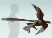 Длинные перья хвоста помогали четырёхкрылому динозавру приземляться