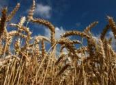 Расшифрованный геном пшеницы поведал историю зерновых культур