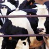В Ростовской области в животноводческой точке введен карантин по бруцеллезу скота