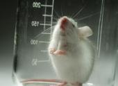 Ученые смогли вырастить полноценную лапку мыши в лабораторных условиях