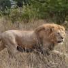 Мэрия планирует выдавать разрешения на владение львом