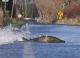 Из-за наводнения на северо-западе США водителям приходится уступать дорогу массово переползающим ее лососям (ВИДЕО)
