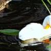 На Ставрополье растет утенок-альбинос, живущий в городском озере