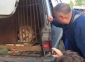 Спасать львицу в челябинский дворе приехали зоозащитники, полиция и министр экологии