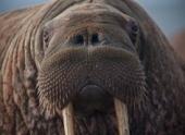 Спасенные от браконьеров моржи появились в анапском дельфинарии