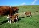 Премьер-министр Армении заявил о необходимости развивать скотоводство