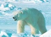 """Изменение климата подталкивает белых медведей к """"точке невозврата"""""""