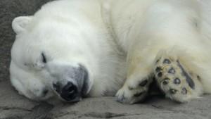 Всемирный фонд дикой природы (WWF) и Совет по морским млекопитающим отмечают в среду день рождения белого медведя и...