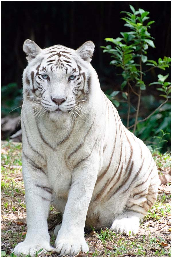 http://ecocollaps.ru/wp-content/uploads/2011/01/1234207110_white-tiger.jpg