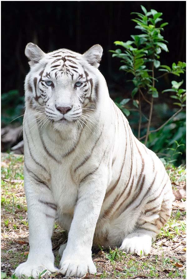 Белый тигр. Загадка природы