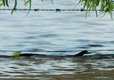 Наводнение в Австралии: змея спасает лягушку