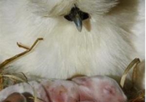 Курица стала няней для пяти крольчат