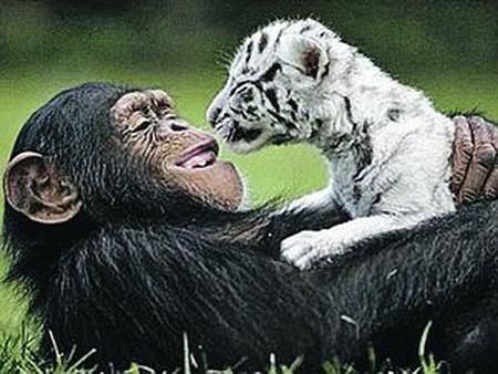 В зоопарке Флориды шимпанзе по кличке Аньяна усыновила двух тигрят