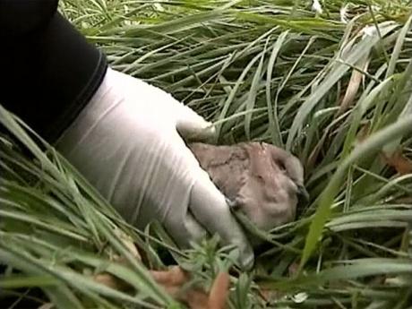 Новые случаи массовой гибели птиц зафиксировали орнитологи разных стран