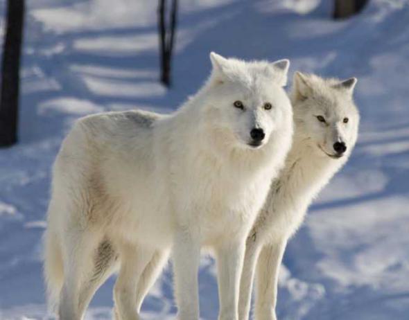 Стая из 400 волков угрожает жителям