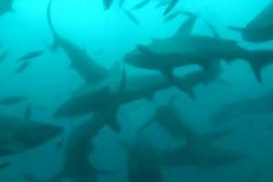 100 тысяч акул приплыли к побережью Флориды
