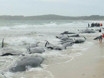 В Новой Зеландии на берег выбросились 82 дельфина