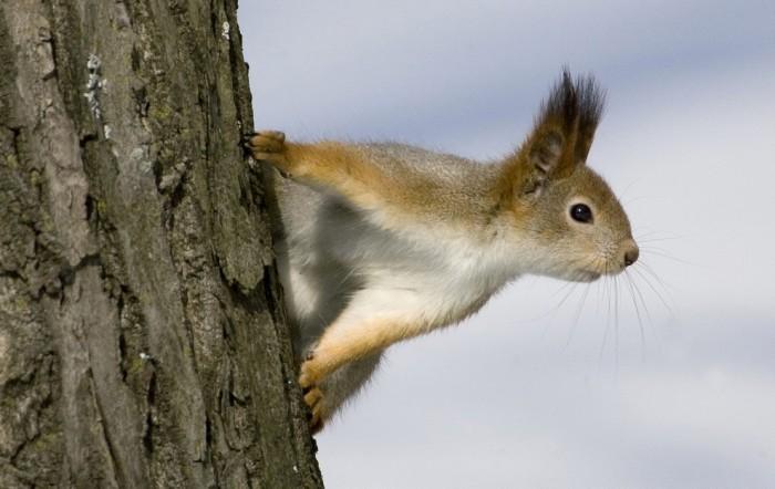 Белочка осматривается в центральном парке города Минска, Беларусь. Фото: 21region.org