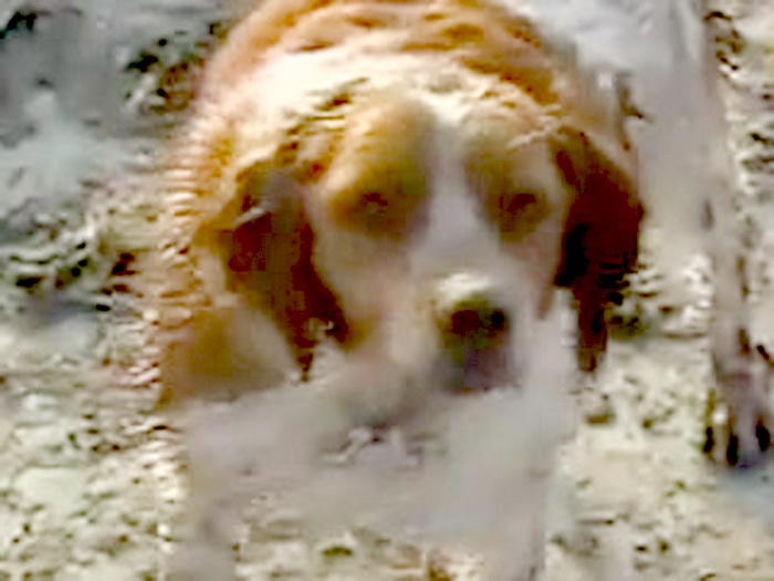 Запись демонстрирует, как явно породистый, но истощенный и грязный пес в ошейнике бродит вокруг своего раненого соплеменника, лежащего в обломках