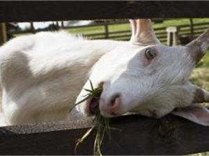 Коза творит чудеса. Фото: sxc.hu