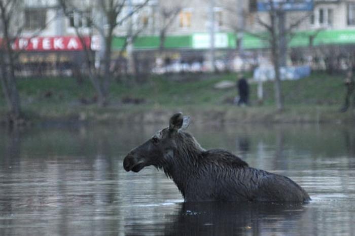 По ярославским улицам разгуливают лоси. Фото с сайта www.dirty.ru