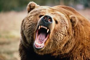 Бурый медведь, является одним из самых крупных хищников