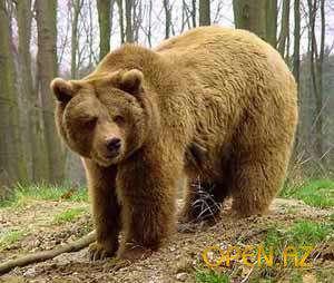 На Сахалине голодные медведи стали заходить в города. Фото: http://open.az