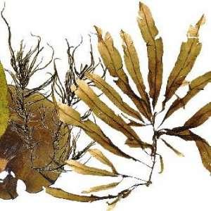 Биотопливо из бурых водорослей